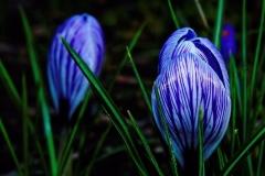 Krokus-Garten-Fruehling-Blume-Natur-Pflanzen
