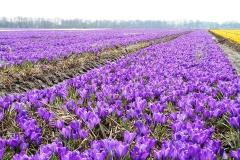 Krokus-Gluehbirnen-Gluehbirne-Blumen-Fruehling