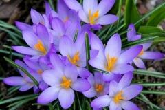 Krokus-Lila-Schön-Pflanze-Natuerliche