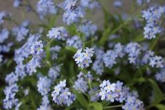 Krokus-Vergissmeinnicht-Blau-Kvítek-Blume