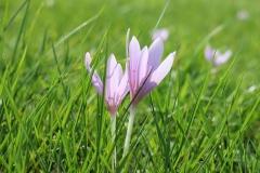 Krokus-Wiese-Safran-Blume-Gras-Fruehling