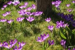 Krokusse-Sonne-Fruehling-Violett-Blumenwiese-Krokus