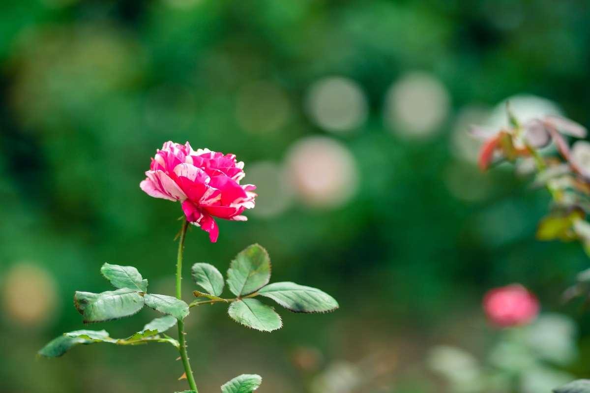 rose mit vielen kleinen hagebutten pflanzen kaufen rosen pflanzen sortiment gartenwelt wer. Black Bedroom Furniture Sets. Home Design Ideas