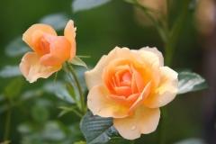 2-gelbe-rosen-bluete-1