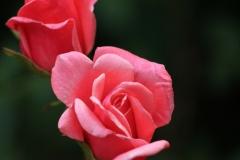 2-rosa-rosen-1