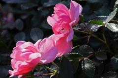3-rosa-rosen-1