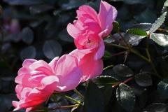 Rosenstrauch: Rosafarbene Rosen und Rosenknospen im Garten