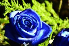 blaue-rose-1