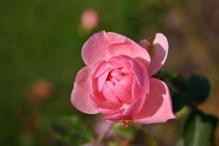 Blüte einer rosa Rose im Garten