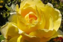 Blüte einer gelben Rose