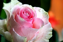 bluete-rose-rosa-1