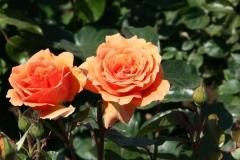 Rosenstrauch im Garten mit zwei orangefarbenen Rosen