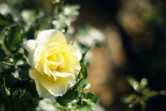 garten-gelbe-rose-1