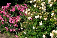 Bunte Rosensträucher im Garten