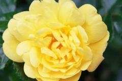 Blüte einer Rose