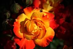 gelb-rote-rose-1