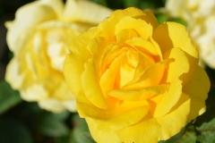 gelbe-rosen-wunderschoen