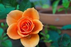 orange-rose-strauch-1