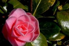 perfekte-rose-bluete-1