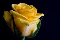 rose-gelb-1
