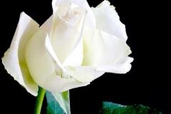 rose-weiss-schoen