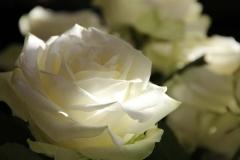 rosen-weiss-traumhaft