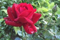 rosenbluete-rot-1