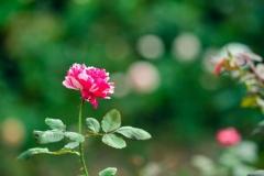 Rose mit Dornen