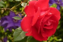 Blüte einer roten Rose im Garten
