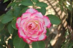 Eine weiss-rosa Rose im Garten