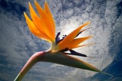 Bluete-Strelitzia-Blumen-Vogelblume