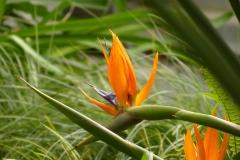 Bluete-Strelitzie-Exotisch-Paradiesvogelblume