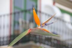 Blume-Strelitzien-Paradiesvogelblume-Exotisch