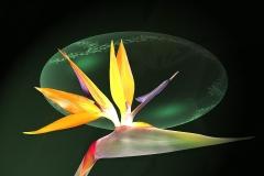 Papageienblume-Paradiesvogelblume-Bluete-Blume-Edel