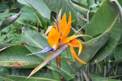 Paradiesvogelblume-Bluete-Blume-Orange-Farbig