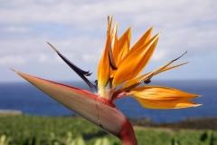 Paradiesvogelblume-Bluete-Pflanze-Blume-Natur