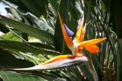 Paradiesvogelblume-Strelitzia-Reginae