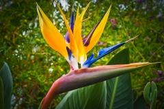 Paradiesvogelblume-Strelitzie-Blume-Bluete