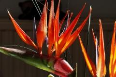 Strelitziaceae-Strelizie-Strelitziengewächs