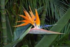Strelitzie-Blume-Bluete-Paradiesvogelblume-Gelb