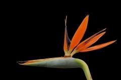 Strelizie-Bluete-Orange-Exotisch-Farbig
