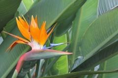 Strelizie-Blume-Strelitziengewächs-Strelitziaceae