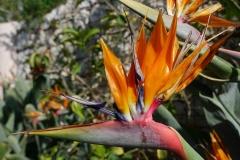 Strelizie-Paradiesvogelblume-Papageienblum-Blume