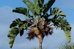 Weiße-Strelitzie-Palme-Baum-Palmenähnlich
