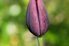 Bluete-Tulpe-Geschlossen-Blume-Fruehling-Pflanze