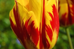 Bluete-Tulpe-Rot-Gelb-Blume-Fruehling-Pflanze-Natur1