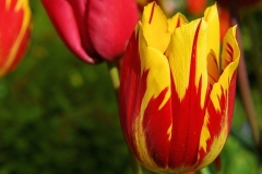 Bluete-Tulpe-Rot-Gelb-Blume-Fruehling-Pflanze-Natur2