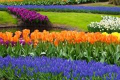 Bluete-Tulpen-Farbe-Bunte-Traube-Hyazinthen-Flora