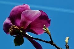 Blume-Bluete-Fruehblueher-Garten-Magnolie-Fruehling