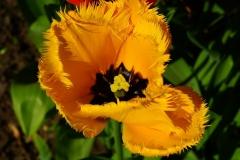 Blume-Bluete-Tulpe-Fransen-Gelb-Natur-Pflanze